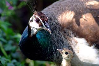 Peacock family. Pauwenfamilie. Utrecht. 03
