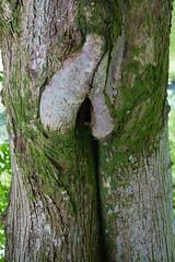 A (female?) tree (Sten Dueland) Tags: tree sex female genitals botany biology privateparts genitalia privates sexorgan sexualorgan ledaal