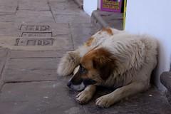 Cusco resident, one of many (tgiacb717) Tags: dog peru cusco tired resting relaxed peruvian cuscoperu tgiacb717 conservationvip conservationvolunteerinternationalprogram dogsofcusco