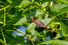 Brown Hairstreak (male) Butterfly (Thecla betulae) (BiteYourBum.Com Photography) Tags: uk england west male nature sussex westsussex unitedkingdom rifle reserve naturereserve scheme range canonef1740mmf4lusm steyning ipad downland brownhairstreak canonefs60mmf28macrousm biteyourbum canoneos7d appleipad dawnandjim canonspeedlite430exii sigma50500mmf4563dgoshsm loweproprorunner350aw brownhairstreakmale steyningdownlandscheme biteyourbumcom camranger steyningriflerange