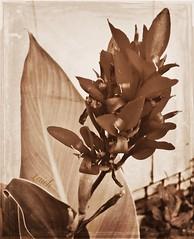 Vintage Canna (MissyPenny) Tags: flowers brown sepia vintage garden canna bristolpennsylvania