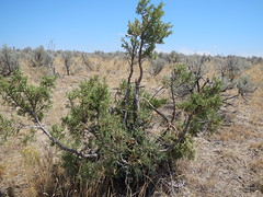 Juniperus osteosperma south of Baker City (Matt Lavin) Tags: tree leaves oregon native annual shrub habitat poaceae bakercity introduced bunchgrass utahjuniper juniperusosteosperma cheatgrass bromustectorum coolseason bromeae