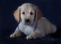 Cassie (Rainfire Photography) Tags: portrait cute animal puppy photography golden beads purple adorable retriever rainfire