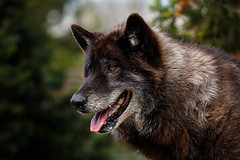 May 2014_118 (kdc123) Tags: new wild dog woods wolf nj jackson jersey wolves howling