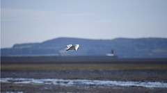 (Wendy:) Tags: morning red sea howth lighthouse sand gulls july lowtide sandymount southwall