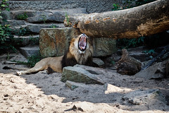 "Artis - lion 2 • <a style=""font-size:0.8em;"" href=""http://www.flickr.com/photos/92529237@N02/14698689158/"" target=""_blank"">View on Flickr</a>"