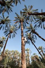 Climber (Andrea Morico) Tags: africa landscape person persona nikon tunisia palm elderly solo only climber dates palma paesaggio datteri anziano arrampicatore d700 nikond700