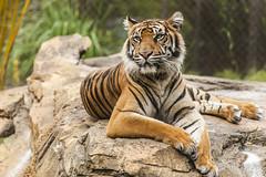 JaxZoo_8-13-14-8209 (RobBixbyPhotography) Tags: lucy tiger sumatran jacksonvillezooanimals flickrbigcats