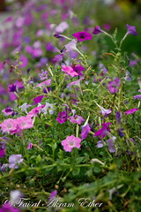 Garden Flowers : Multicolored Petunias (Faisal Akram Ether) Tags: pink flowers green garden happy lawn blooming pabna