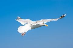 Seagull (bat7000) Tags: blue sea mer white france bird eye speed wings brittany seagull bretagne oeil mouette vitesse ailes arnaudvautrin