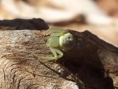 Thomisidae Crab spider DSCF2232 (Bill & Mark Bell) Tags: exmouth westernaustralia australia geo:town=exmouth geo:state=westernaustralia geo:country=australia geo:lon=11425453egeolat2217752sgeoalt8m 11425453e2217752salt8m taxonomy:kingdom=animalia animalia taxonomy:phylum=arthropoda arthropoda taxonomy:class=arachnida arachnida taxonomy:order=araneae araneae taxonomy:family=thomisidae thomisidae taxonomycommonnamecrabspider crabspider spider