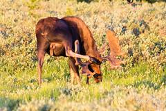A moose bull finds a novel way to scratch itself