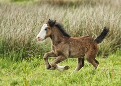 Foal playing (malcolm5959) Tags: