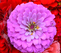 Purple Zinnia (explored) (pjpink) Tags: summer flower virginia farmersmarket market july richmond southside zinnia rva foresthillpark 2014 soj southofthejamesmarket pjpi8nk