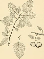 """Anglų lietuvių žodynas. Žodis southern crab apple reiškia pietų krabų """"apple"""" lietuviškai."""