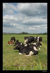 Koeien (shedman59) Tags: grass cows pasture dairy polder melk weiland koeien gouda kaas boe zuivel loeien melkkoeien