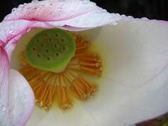 Sea Rose (Nicote) Tags: sea plant flower wet water rose japan japanese drops kyoto lotus humidity searose