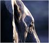 """Night Gaze (A.M.G.1) Tags: africa sunset elephant nature animals canon southafrica flickr photographer natural african wildlife elephants botswana endangered krugernationalpark borntobewild big5 goodman endangeredspecies andygoodman mashatu bullelephant southafricanwildlife photography"""" tuliblock amg1 ultimateshot southernafricanwildlife wildlifesouthafrica btbw goodmanandy fantasticwildlife wild"""" wildlifeinsouthernafrica africanwildlifephotographer wildilfephotographer"""