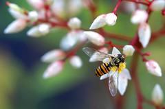 hoverfly on heavenly bamboo (HansHolt) Tags: flower macro dof bokeh hoverfly zweefvlieg nandinadomestica heavenlybamboo canonef100mmf28macrousm canoneos6d hemelsebamboe