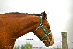 Horse Near my Village (Shutterbuglette) Tags: horse fence domesticanimal eatinggrass hobbyfarm ruralalberta