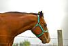 Horse Near my Village (Shutterbuglette) Tags: horse fence domesticanimal eatinggrass hobbyfarm ruralalberta
