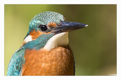 Martin pêcheur en portrait (Alcedo atthis) Kingfisher (Denis.R) Tags: france canon 300mm kingfisher lorraine libre moselle sauvage alcedoatthis martinpêcheur denisr 5dmarkiii canonef2xiii denisrebadj