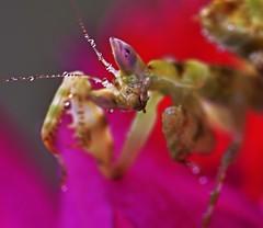 Creobroter pictipennis mantis, L3 (_papilio) Tags: macro canon mantis nikon invertebrate papilio mantid arthropod mpe65 sigma150mm pictipennis creobroter d800e