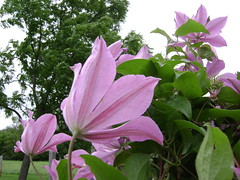 July Evening In The Garden (grandpaspix) Tags: garden sony clematis july cybershot iowa s650