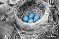 Robin's nest (kathywalt24) Tags: blurred infocus highquality mediumquality