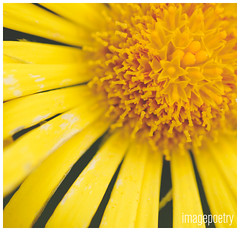 064 (imagepoetry) Tags: flower macro nature yellow garden sunflower naturelover imagepoetry sonyalpha gardenlover ipoetry