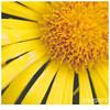 064 (imagepoetry) Tags: flower macro nature yellow garden sunflower naturelover imagepoetry sonyalpha gardenlover ipoetry