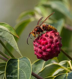 Hornet eating fruits