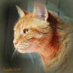 Broer in profile (Cajaflez) Tags: portrait orange pet cat ginger kat chat profile katze portret gatto huisdier kater profiel rodekater ruby10 ruby15