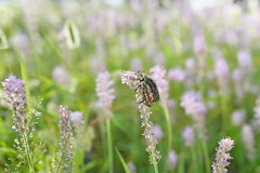 Wandering in quest of flowers (shin5963) Tags: insect flowerchafer   catoniapilifera