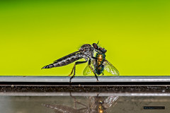 Fly-eat-fly world (BSimpson81) Tags: fly eating robberfly robber