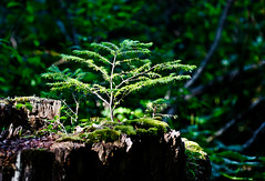 Continuing. (Omygodtom) Tags: wild portrait tree green art nature oregon stem nikon trail stump trilliumlake naturelovers d7000 18105lens