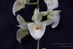 CEJ_2014-4563_3_AOSJud_20140727_IMG_0132_CEJ_W.jpg (celainej) Tags: white snow plant orchid flower green yellow little caroline marks clay pileatum aos ctsm 20144563