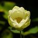 American Lotus_1st Day Flower