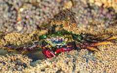 Crab pose (JulianGrim) Tags: travel viaje sea naturaleza mer beach peru nature animal rock nikon mare crab playa natura per planet animaux plage viaggio spiaggia roca mancora fotografa cangrejo perou nikond3200 mncora