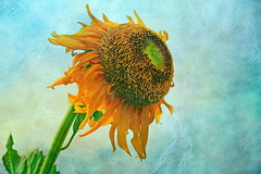 Sunflower (ulli_p) Tags: flowers light green art texture nature colors yellow thailand 50mm gold asia southeastasia colours blossoms sunflower textured isan aworkofart flickraward texturedphoto ruralthailand awardtree artofimages exoticimage canoneoskissx5