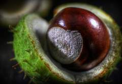 Conker (Crisp-13) Tags: autumn horse fall shell chestnut hdr conker aesculus hippocastanum