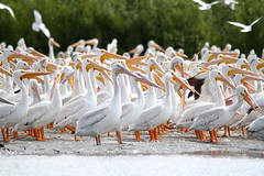 American White Pelican (painguy007) Tags: minnesota pelican americanwhitepelican blackdoglake