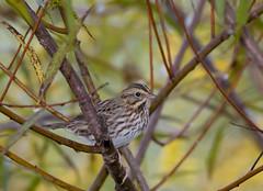 """Sparrowtime"" is Here! (Bonnie Ott) Tags: savannahsparrow passerculussandwichensis sparrow bird maryland howardcounty howardcountymaryland mountpleasant mountpleasantfarm bonniecoatesott"