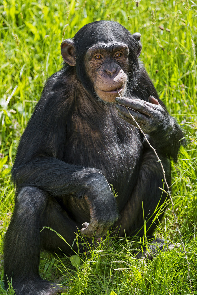 The World's most recently posted photos of chimp and smoking