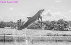 flipper? (MadVick) Tags: ocean sky nature water monochrome keys jump marine florida dolphin flipper breach