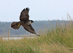 Peregrine Falcon - Nauset, Orlean, September 25, 2014 (petertrull) Tags: elements