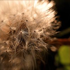 first dandelion in the park (johngpt) Tags: plants noflash dandelion macrolens inthepark hipstamatic blankofilm appleiphone5 olloclip lowylens tpfflowers tpbcellphone lowylensblankofilmnoflash