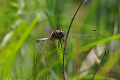 Black Tailed Skimmer Beauty (Hugobian) Tags: black macro art nature animal fauna pentax dragonflies dragonfly wildlife reserve insects tailed skimmer amwell hmwt