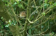 Turning Red (Mike Jones Photos) Tags: bird robin erithacusrubecula wildlife juvenile firebeaconhill