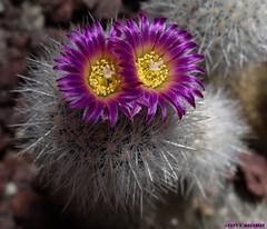 :))) A caress? (Caty V. mazarias antoranz) Tags: acaress kisses besos pinchos cactus flres nature naturaleza españa flowers cacto suculentas succulents espinas cactusconflores